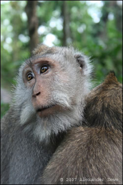 Monkey in monkey forest Bali
