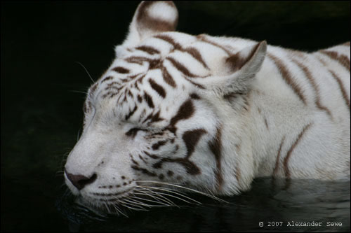 White tiger taking a cooling bath