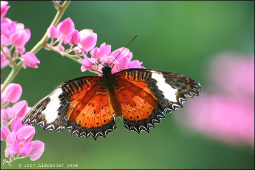 Brown, white and black butterfly on flower