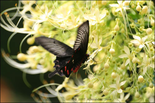 Black and red butterfly in air over yellow flower